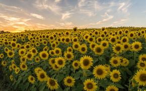 Цветы: закат, поле, подсолнухи, пейзаж