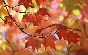Природа: осень, клён, ветка, листья, макро, боке