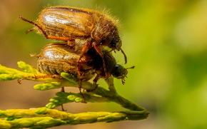 Макро: майский жук, насекомое, макро