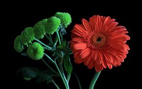 Цветы: цветы, гербер, флора, макро