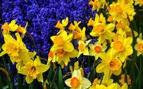 Цветы: цветы, нарцисы, флора
