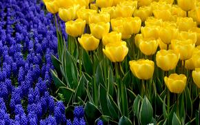 Цветы: цветы, тюльпаны, флора