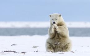 Животные: Alaska, Аляска, белый медведь, полярный медведь, медведь