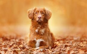 Животные: собака, взгляд, портрет, листья, осень
