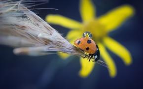 Макро: божья коровка, насекомое, жук, колосок, цветок, капля, макро