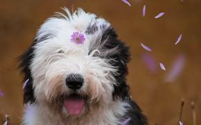 Животные: Бобтейл, Староанглийская овчарка, собака, морда, цветочек, лепестки