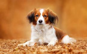 Животные: Коикерхондье, собака, взгляд, портрет, листья, осень