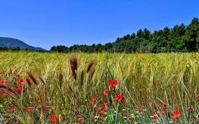 Природа: поле, колосья, маки, макро, панорама