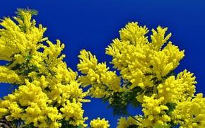 Цветы: ветки, цветы, мимоза