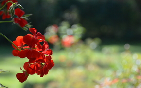 Цветы: flower, red, nature