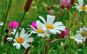 Макро: поле, цветы, ромашки, макро