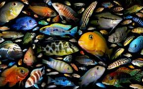 Животные: аквариумные рыбки, семейство цихлидовых, постер