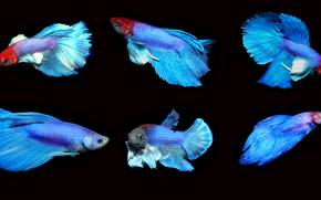 Животные: петушок рыбка, Бойцовая рыбка, аквариумная рыбка
