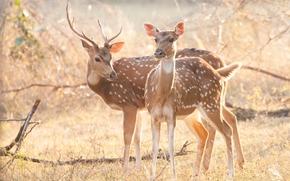 Животные: пятнистый олень, рога, животные