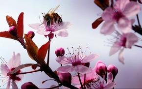 Макро: Cherry, ветки, цветы, шмель, макро