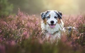 Животные: Австралийская овчарка, Аусси, собака, морда, вереск