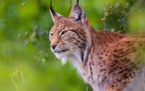 Животные: рысь, дикая кошка, хищник