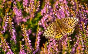 Макро: Перламутровка Аглая, бабочка, вереск, макро