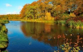 Пейзажи: осень, озеро, деревья, утки, пейзаж
