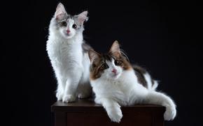 Животные: кошки, котейки, парочка, портрет, фон
