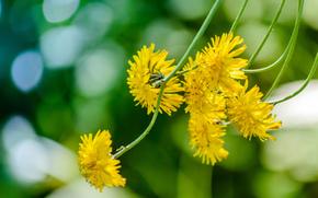 Цветы: Ястребинка, жёлтые цветы, стебли, макро