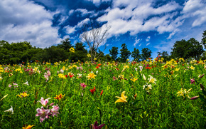 Природа: Tokorozawa, Saitama, Japan, Токородзава, Сайтама, Япония, цветы, лилии, засохшее дерево, деревья, небо