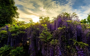 Природа: Ashikaga Flower Park, Japan, Парк цветов Асикага, Япония, парк, глициния, вистерия