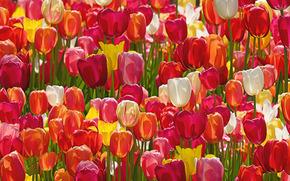 Цветы: тюльпаны, бутоны, много