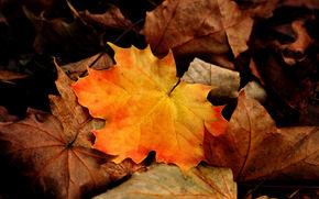 Макро: осень, листья, клён, макро