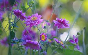 Цветы: ветреница, анемона, макро
