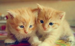 Животные: котята, рыжие, малыши, парочка, двойняшки