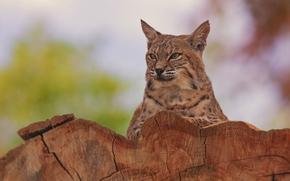 Животные: рысь, дикая кошка, портрет
