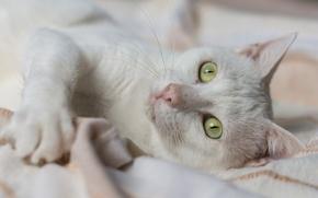 Животные: белая кошка, кошка, мордочка, глаза