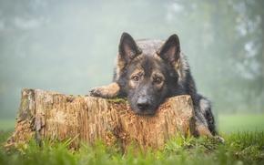 Животные: Немецкая овчарка, овчарка, собака, морда, взгляд, пень