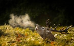 Животные: олень, голова, рога, дыхание, пар, осень
