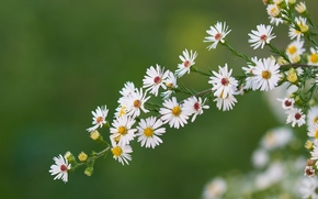 Цветы: ромашки, веточка, макро