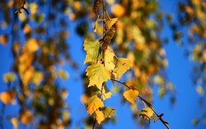 Макро: осень, ветка, берёза, листья, макро