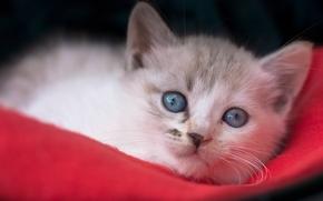 Животные: котёнок, мордочка, голубые глаза, взгляд
