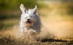 Животные: Гаванский бишон, собака, лохматая, бег, пыль