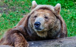 Животные: медведь, поза, взгляд