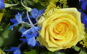 Цветы: роза, цветы, флора