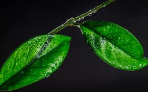 Макро: ветка, листья, капли, макро
