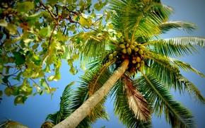 Природа: пальма, крона, листья, ветви, природа