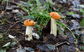 Природа: грибы, подосиновики, природа