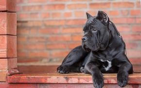 Животные: Кане Корсо, собака, портрет