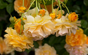 Цветы: жёлтые розы, розы, бутоны