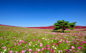 Пейзажи: Hitachi Seaside Park, Hitachinaka, Japan, Приморский парк Хитачи, Хитатинака, Япония, космея, цветы, дерево, луг