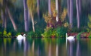 Животные: лебеди, птицы, парочка, озеро, осень