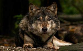 Животные: волк, хищник, морда, взгляд