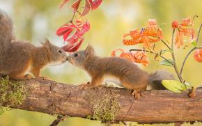 Животные: белки, рыжие, парочка, встреча, знакомство, цветы, лилии, бревно
